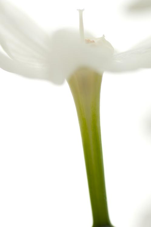 Narcissus #2