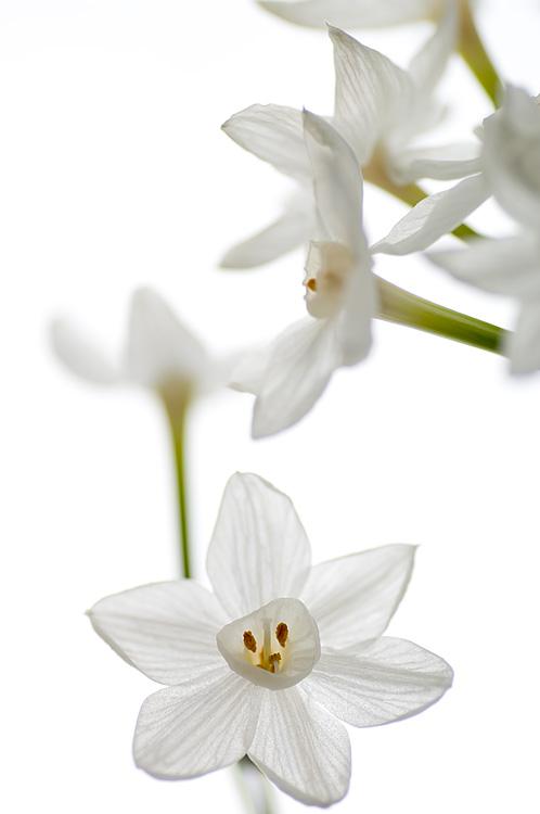 Narcissus #3