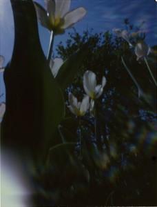 WWPD'09 Tulips 01